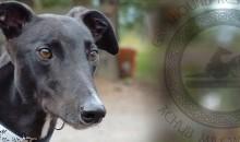 Greyhound-Rescue-Wales